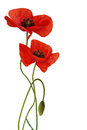 poppy flower isolated 269249371